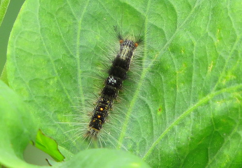 IMG_0165 Tussock Moth Cat early instar