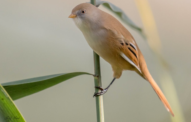 DSC8160  Bearded Reedling..