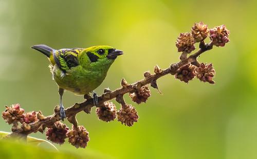 Tangara florida - Emerald Tanager - Tangara Florida 03
