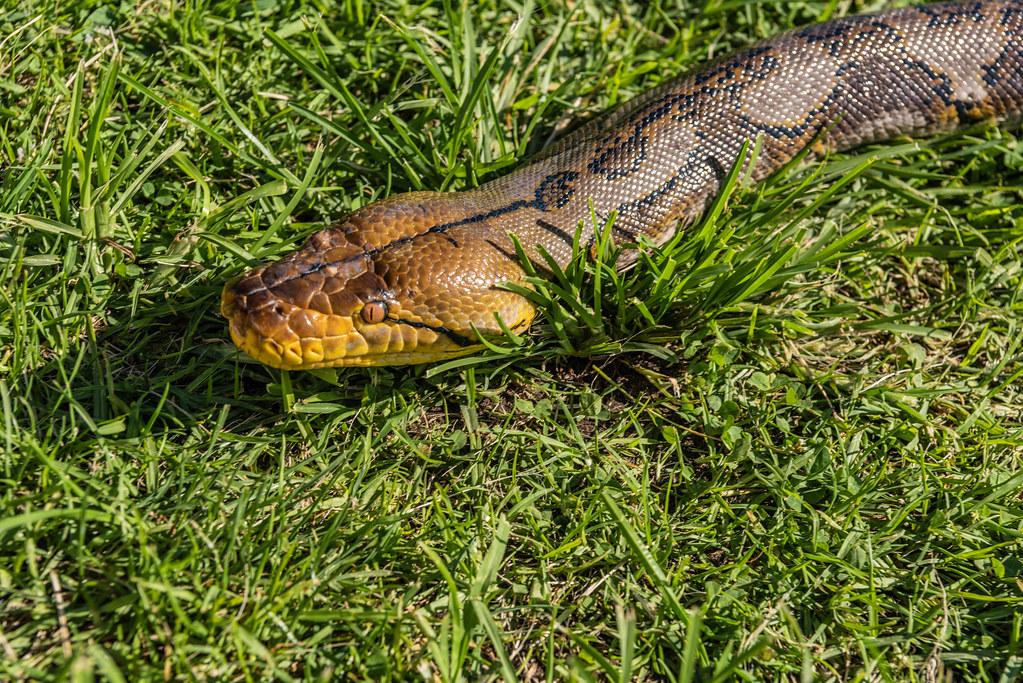 Close Up of  Snake Pandora at Venice Beach, CA