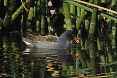 Common Gallinule 9342