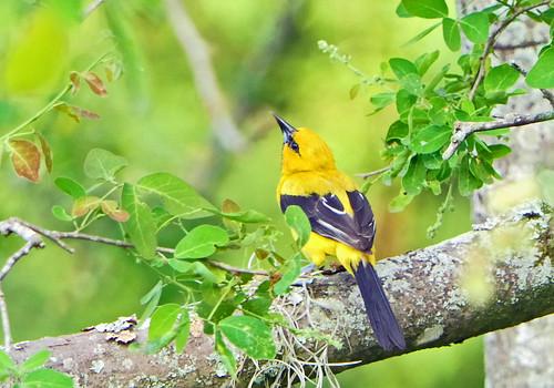Gonzalito o Turpial Amarillo, Yellow Oriole (Icterus nigrogularis)