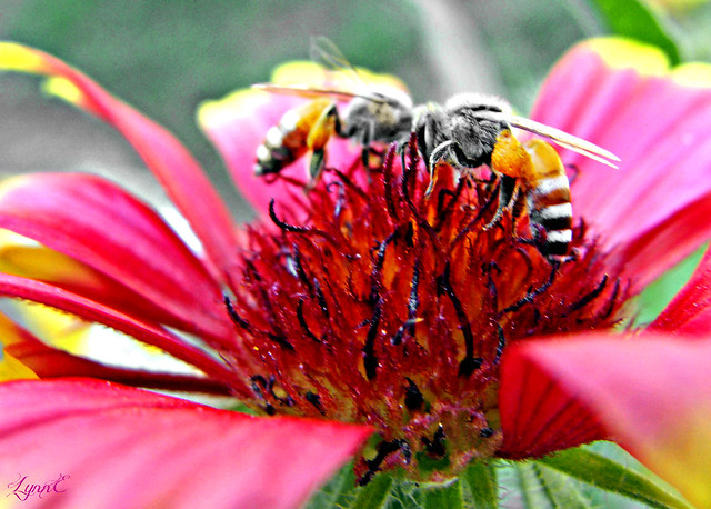 Bees on the Zinnia-Love