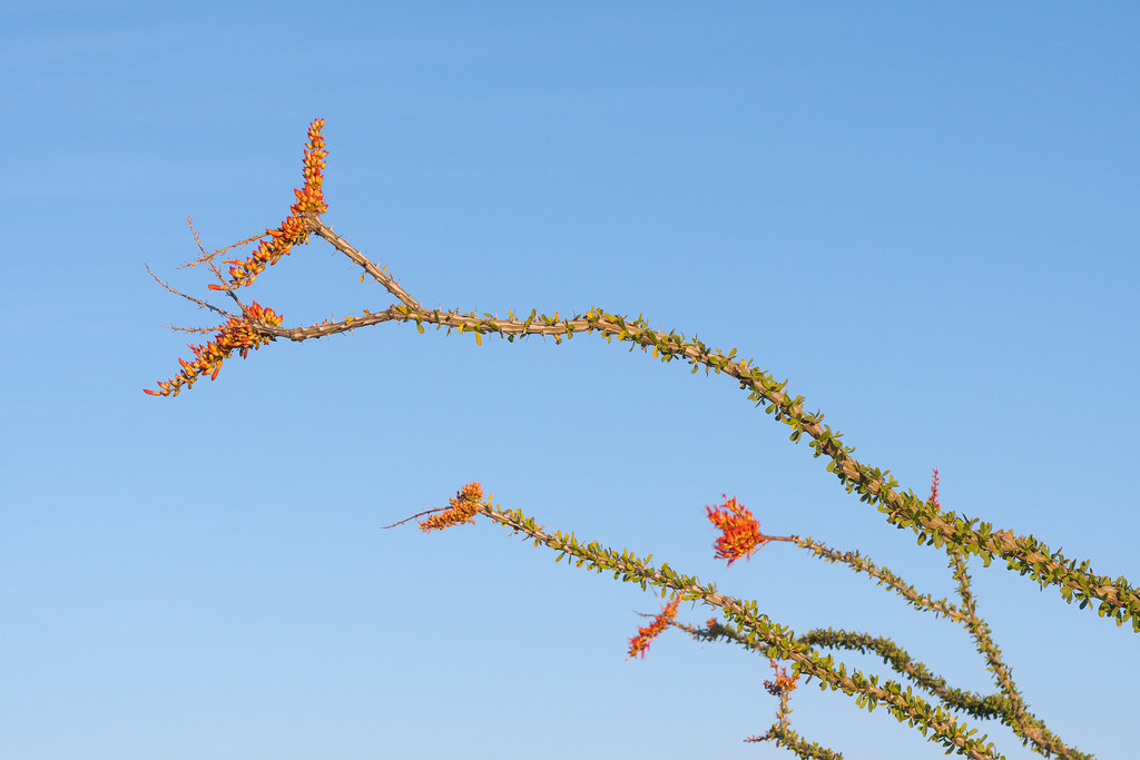 Ocotillo flowers reach towards the sky with their branches covered in leaves along the Upper Ranch Trail in the Brown's Ranch area of McDowell Sonoran Preserve in Scottsdale, Arizona in May 2019