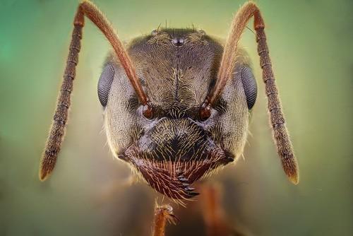 Ant (Lasius negro)
