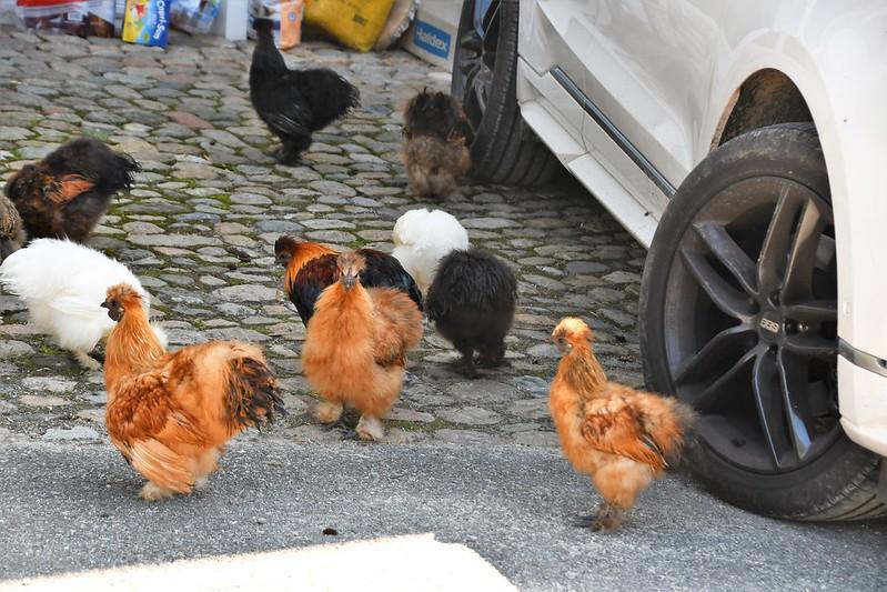 Silky Chickens 25.08 (1)