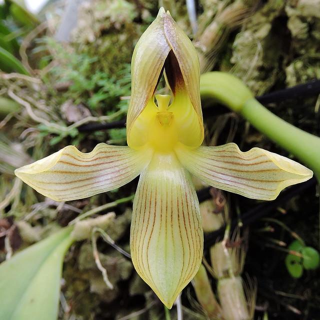 2019-08-23 Bulbophyllum hahlianum - BG Teplice