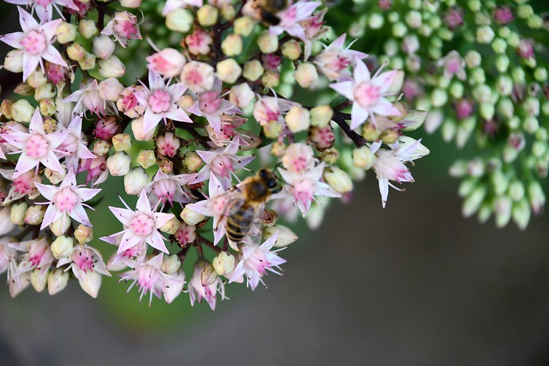 Sedum with bees 25.08 (3)