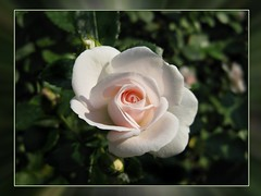 My Sunday Rose for You
