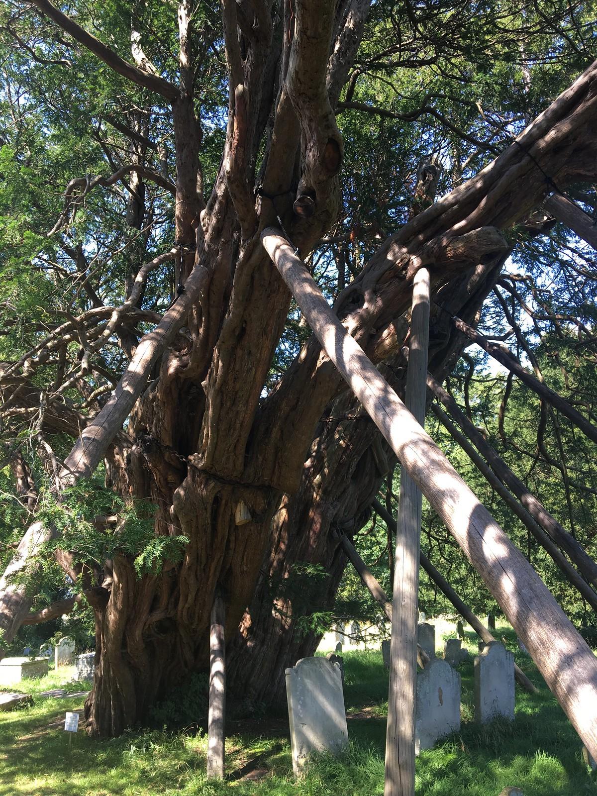 August 25, 2019: Berwick to Eastbourne Wilmington Church yew tree