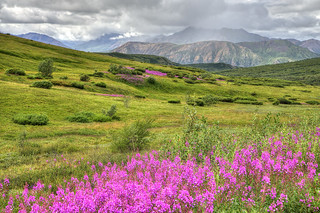 7-28-19- 8677_8_Fireweed West of Sable Pass-Flickr