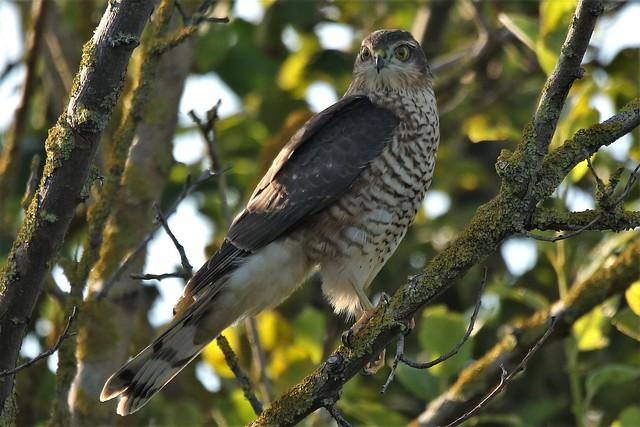 Eurasian sparrowhawk Accipiter nisus juvenile female at Dungeness RSPB