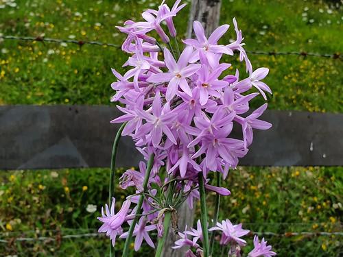 Flores con aroma y sabor a ajo