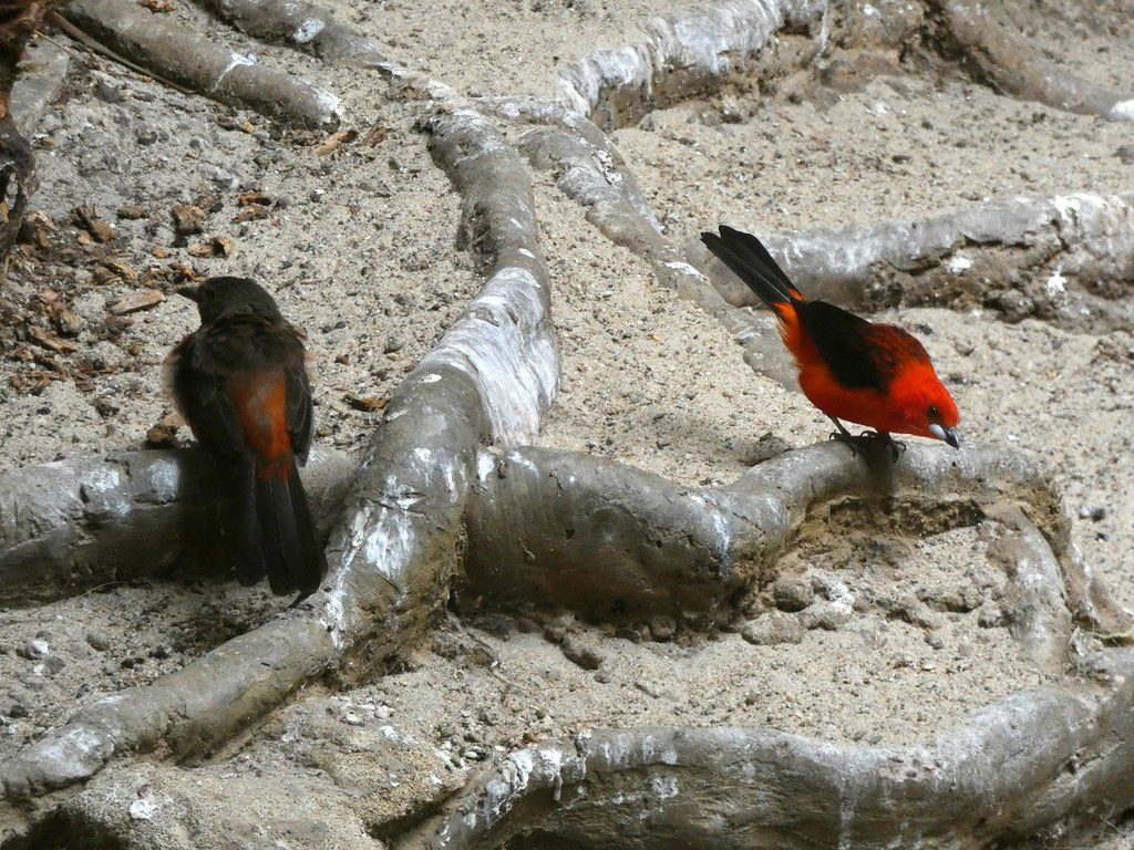 Brazilian tanager couple