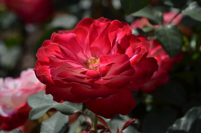 Красавица роза - царица цветов!