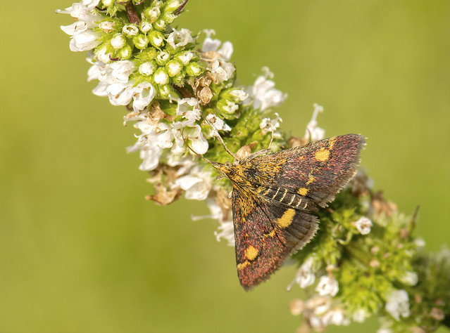 Micro moth feeding on mint