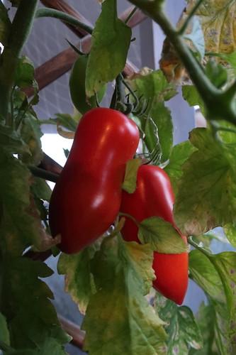 Zwei weitere San-Marzano-Tomaten (am Strauch auf unserem Balkon)