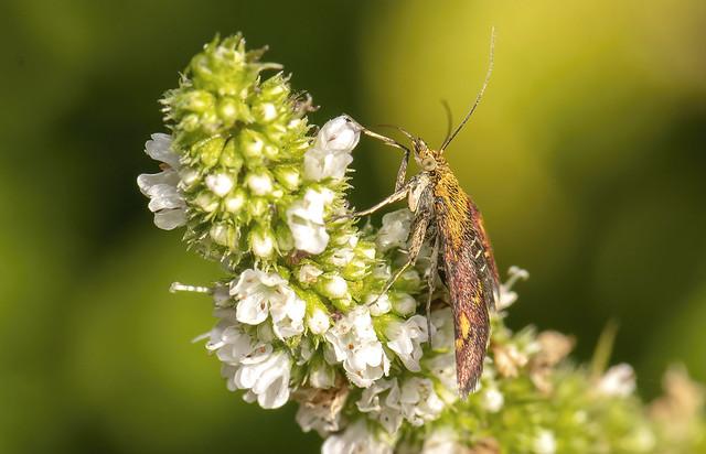 85O_0764 Micro Moth feeding on mint 2