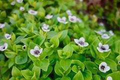 White Flower, Stokmarknes