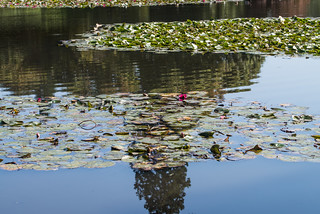 Reflection and a red lily