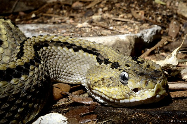 Northwestern Neotropical Rattlesnake - Crotalus culminatus