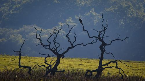 Osprey in trees