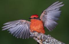 Vermilion Flycatching