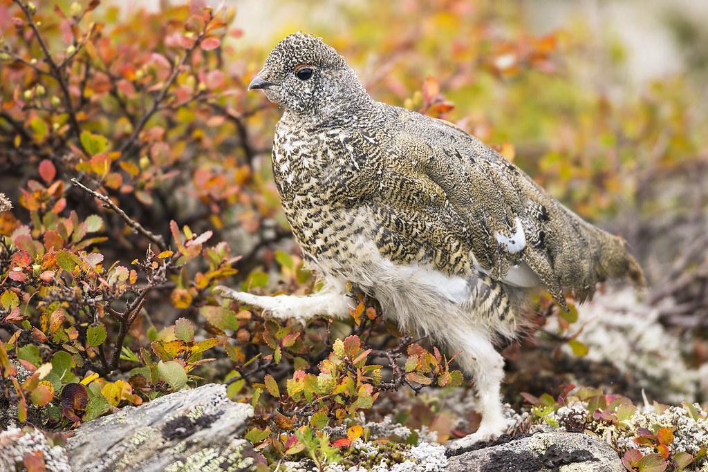 Juvenile White-tailed Ptarmigan