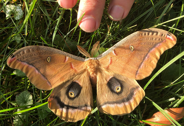 A large moth in the yard
