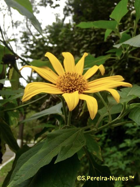 Girassol mexicano, Mexican Sunflower, Forest Hills, Jandira, Brazil