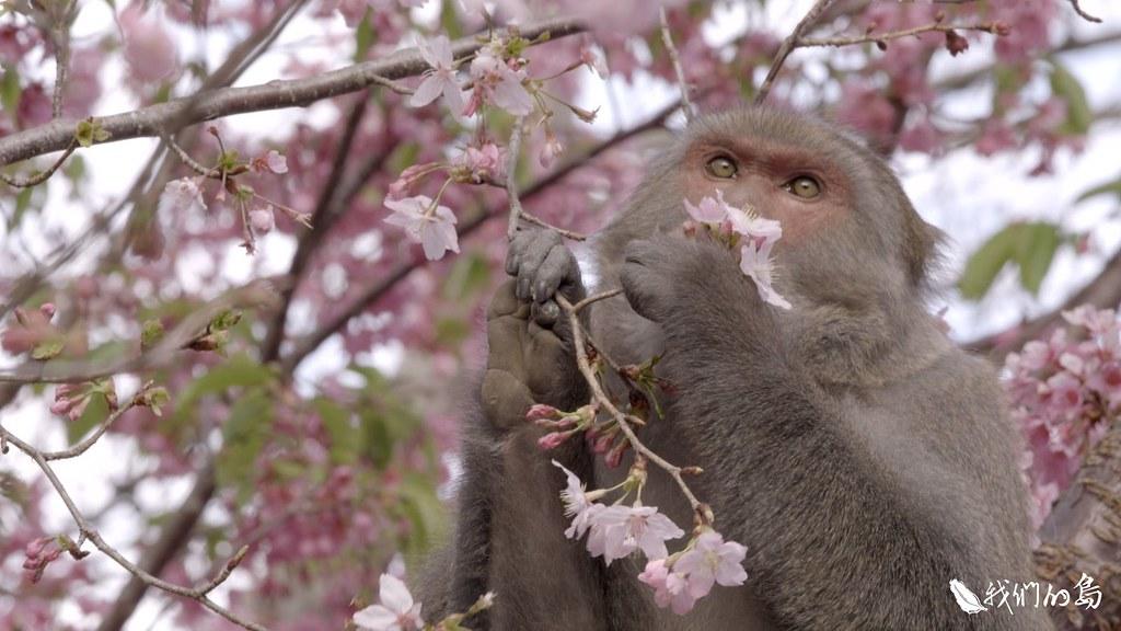 台中市和平區的武陵農場,花朵、嫩葉、果實,都是台灣獼猴喜歡的食物。