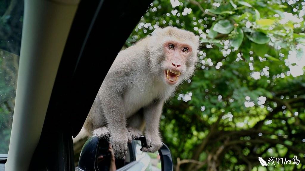 野生動物看到人類一般會盡速逃離,這群在路邊的獼猴,不但不怕人,還會不斷朝車輛靠近。