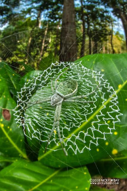 Green cross spider (Argiope chloreis) - DSC_7441