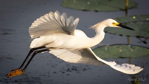 Snowy Egret, Anahuac NWR