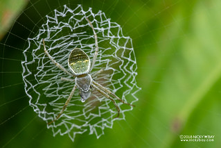 Green cross spider (Argiope chloreis) - DSC_7489