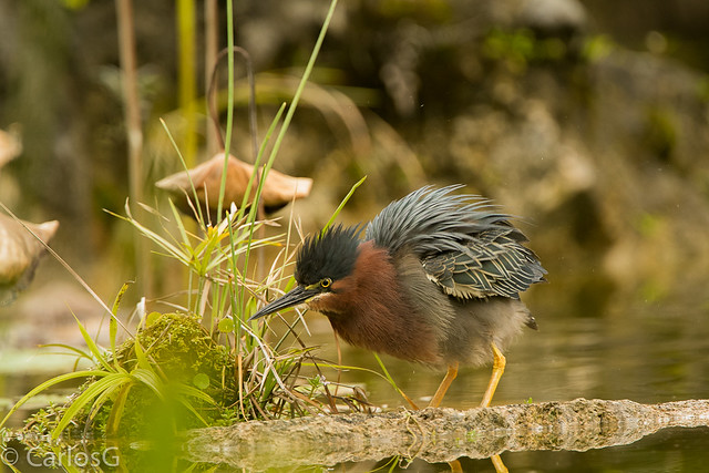 Crá-Crá, Green Heron (Butorides virescens)