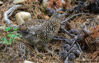 Spruce Grouse (Falcipennis canadensis) - Manning Park, BC