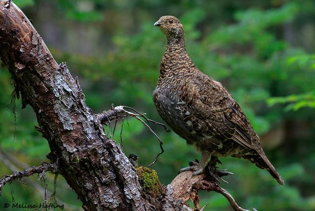 Sooty Grouse (Dendragapus fuliginosus) - Manning Park