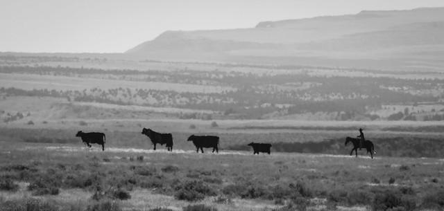 Tin Cattle Drive