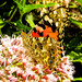 Painted Lady - Vanessa cardui - (under-wing)