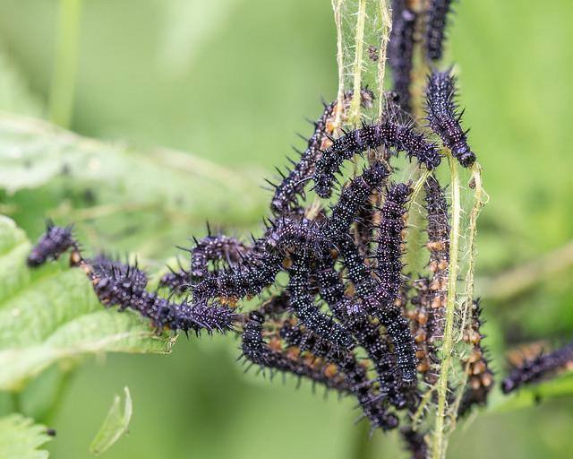 Vanessa dell'ortica - Nymphalis (Aglais) urticae