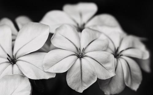 Week 34: Black And White - Blooming B&W