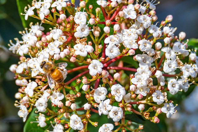 White Viburnum Tinus blossom flowers and a honey bee