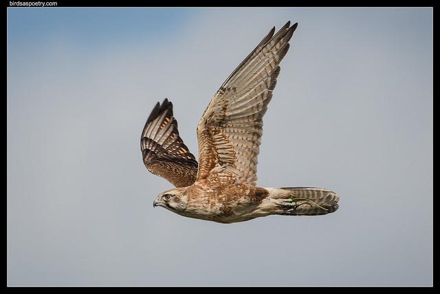 Brown Falcon: