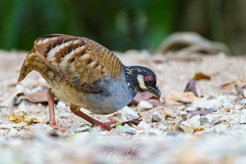 Malaysian partridge (Arborophila campbelli) 馬來山鷓鴣