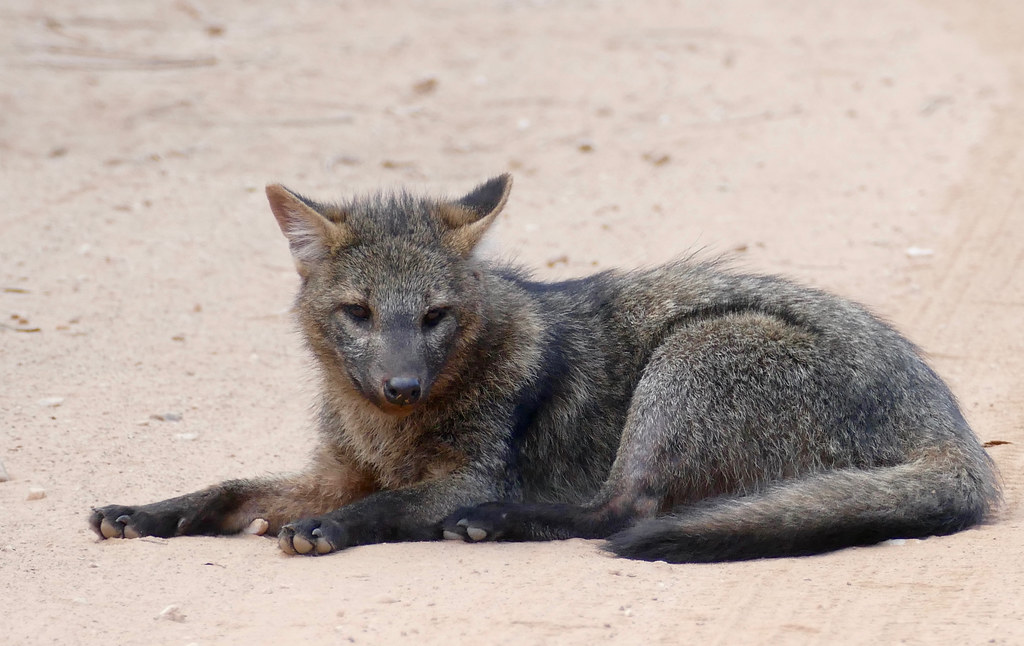 Crab-eating Fox (Cerdocyon thous) resting on the road ...