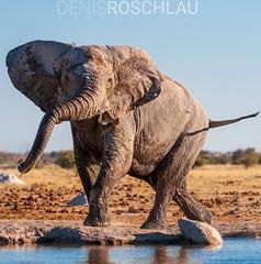 Nxai Pan Elephant in action.