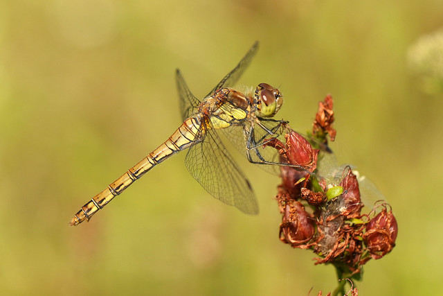 Common Darter ♀ Sympetrum striolatum