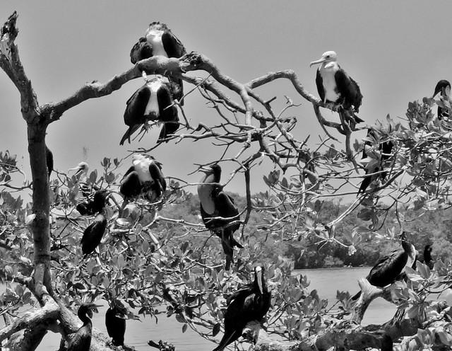 MEXICO, Yukatan, Am Golf von Mexiko,  Isla Aguada -Laguna Terminos, Vogelparadies, Alle Vögel sind schon da.. serie, 19235/11910