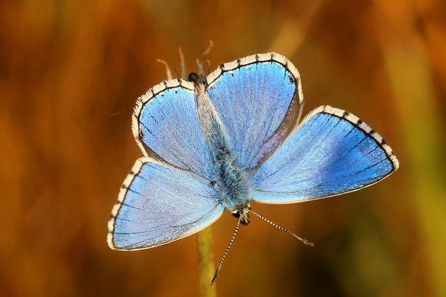 Adonis Blue Polyommatus bellargus